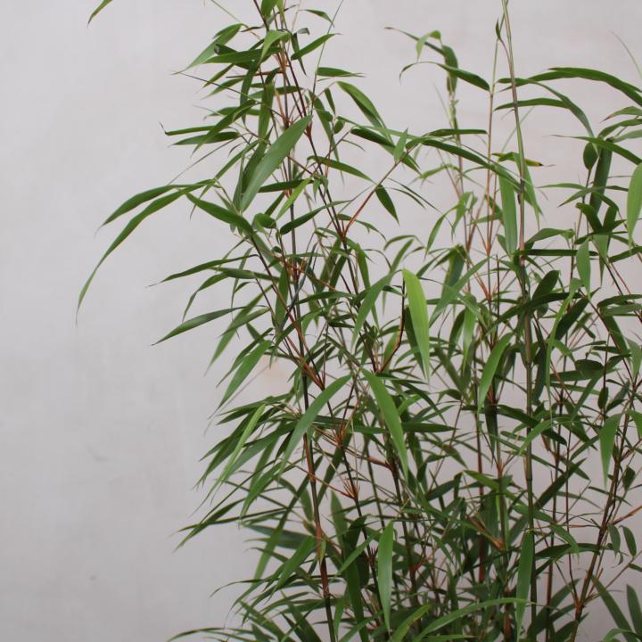 Bambus Asian Wonder fra Greenify