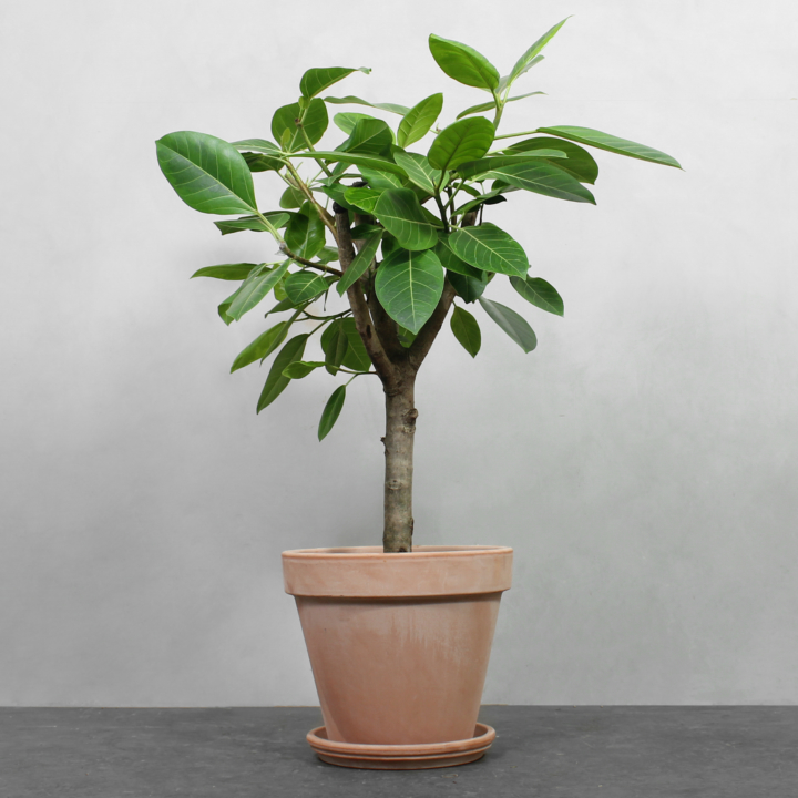 Opstammet Ficus Altissima